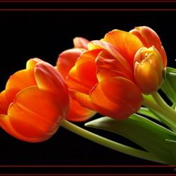 Tulpen voor de expositie