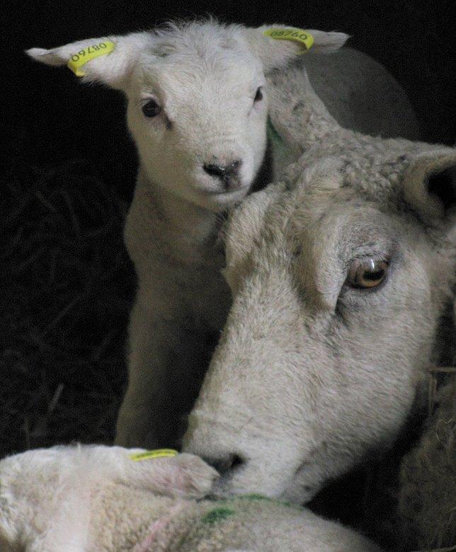 Lente.. - De Lente is in aantocht en zie hier, de eerste lammetjes zijn er al weer. Texel, 06-03-09, Lam en haar moeder.