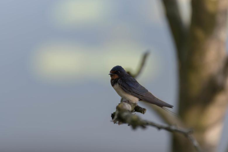 Zwaluw - Deze was wel heel nieuwsgierig en bleef mooi zitten