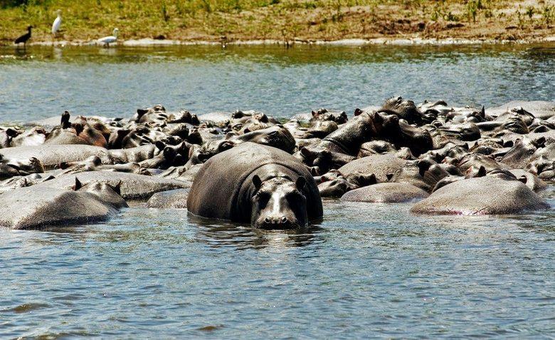 Hoopje Hippo - Nijlpaarden op een kluit in Chobe river, Chobe N.P., Botswana