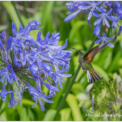 Kolibrie in vlucht