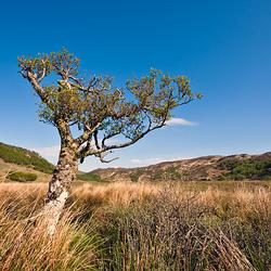 Solitatary Tree @ Ord