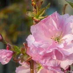 Bloesem van een Japanse sierkers Prunus serrulata Kanzan