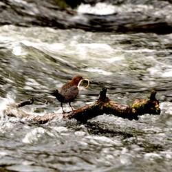 waterspreeuw,met nest materiaal