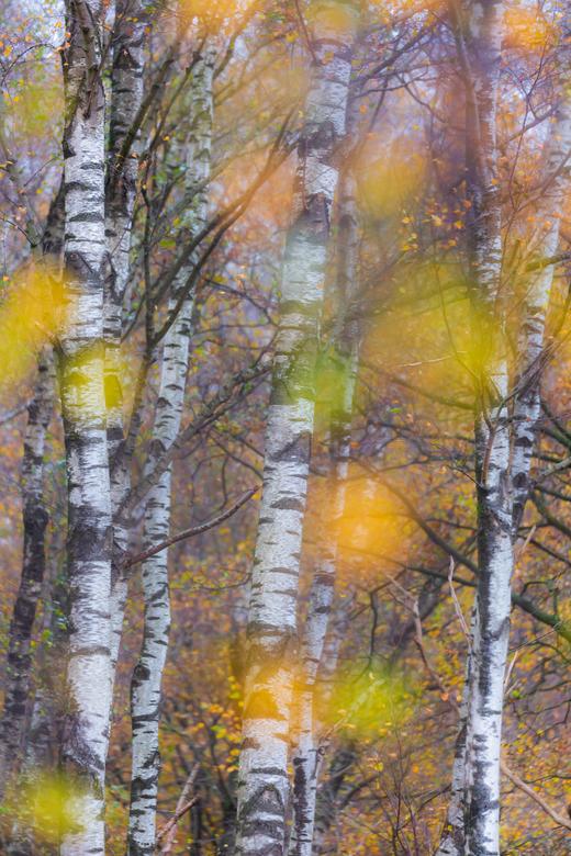 berkenbomen in herfstsfeer - berkenbomen in herfstsfeer.