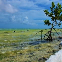 Mangrove in groen water