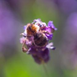 Hommel neemt energie uit de ziel van de lavendel