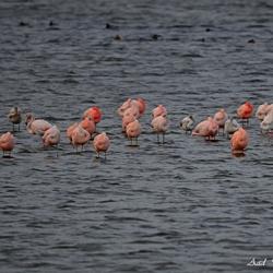 Flamingo`s