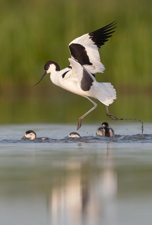 Kluut valt aan . . .! - Het is een ongelijke strijd, maar zodra de Kluut jongen heeft wordt geen  enkele vogel, groot of klein, geaccepteerd in z&#039