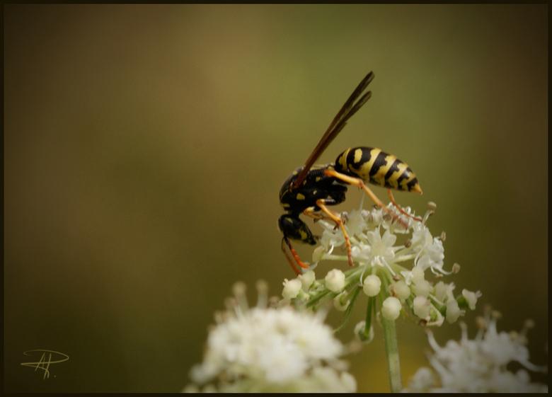 Wesp - Deze wesp doet zich te goed aan een dessertje.<br /> gr.renata