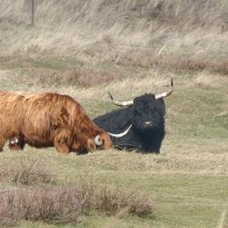 Schotse hooglanders, Texel