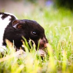 Syrische hamster Uk