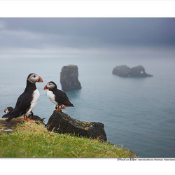 Icelandic Puffins ...