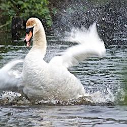 Bewerking: Een bad zwaan