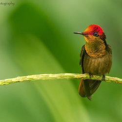 Rode kolibrie rust even uit