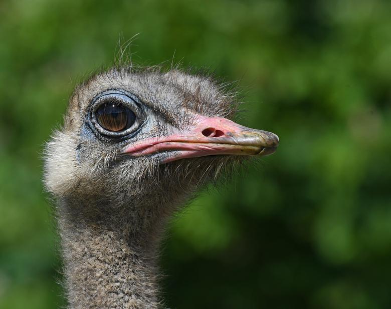 superlatieven - De grootste vogel.<br /> De zwaarste vogel.<br /> De snelste loopvogel.<br /> De grootste ogen bij een landdier.<br /> Enige vogel