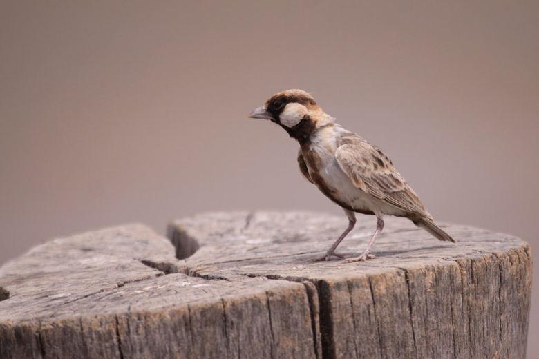 Sparrow Lark - Deze dag hebben we een lange gamedrive en de lunchpakketten gaan mee. Rond het middaguur stoppen we voor een lunchpauze op een picknick