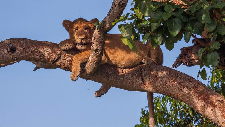 Leeuw in de boom - Unirek, boom klimmende leeuwen in Ishasha, het zuidelijke deel van Queen Elizabeth National Park in Uganda