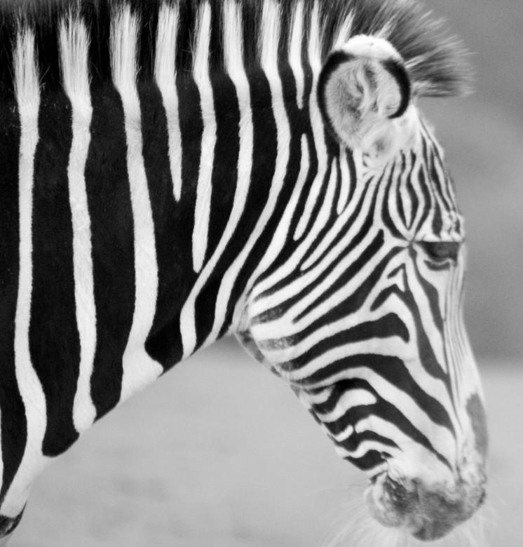 zwart/wit 1 - zebra portrte in zwart/wit