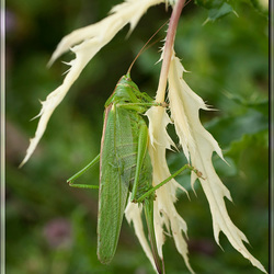 Grote Groene Sabelsprinkhaan(vrouwtje)(Tettigonia viridissima)
