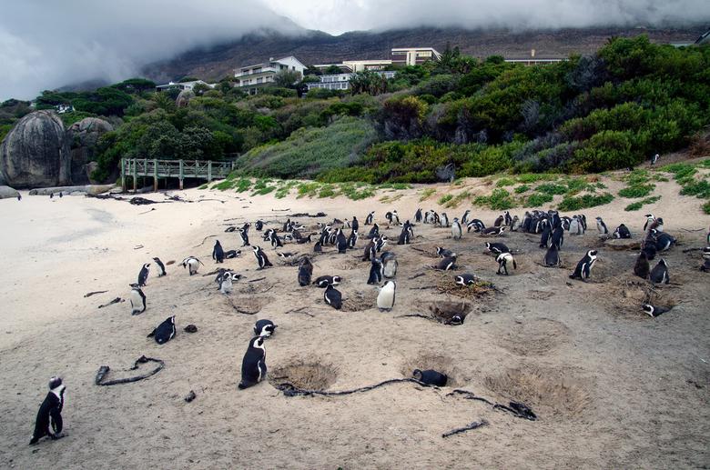 Pinguïns op Boulder Beach - Pinguïns in Zuid Afrika, op Boulders Beach ten zuiden van Kaapstad