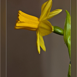"""Mini"" Narcis"