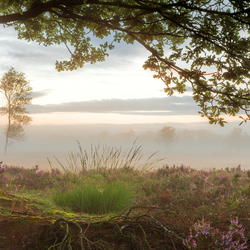 Paarse heide op het Balloërveld en mist tijdens het ochtendgloren