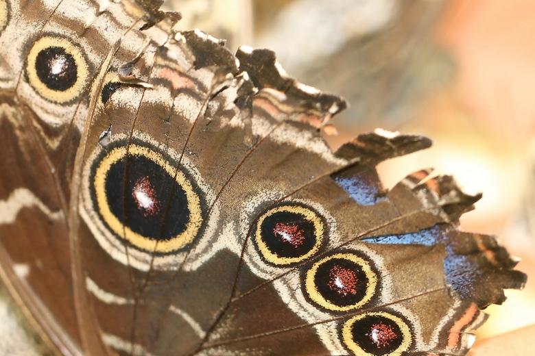 Detail vleugel (2779) - Detail van een vlindervleugel