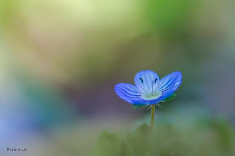 Spring colors - Zo&#039;n eenzaam prachtig blauw/paars bloempje vraagt er gewoon om om gefotografeerd te worden.<br /> <br /> Bedankt voor jullie le