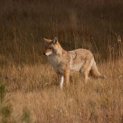 wilde coyote