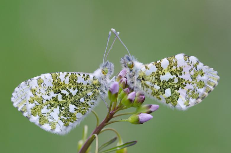 Nog even ...... - Nog even en dan mogen we weer los op deze mooie vlinders. Vrijdag nog even wezen kijken maar nog niks van de waardplant gezien dus n