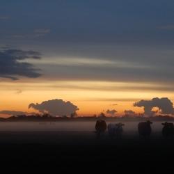 koeien in de mist bij zons ondergang