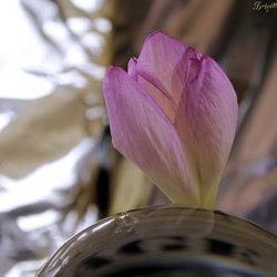 de trots bloem