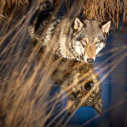 Wolfhond Akeela
