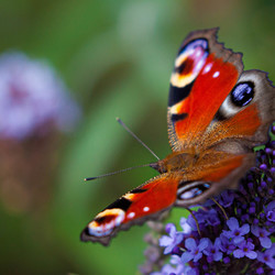 Vlinder - Dagpauwoog