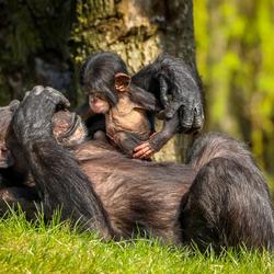 Mama speelt 'Kiekeboe' met baby Chimpansee