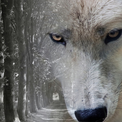Witte wolf (double exposure)