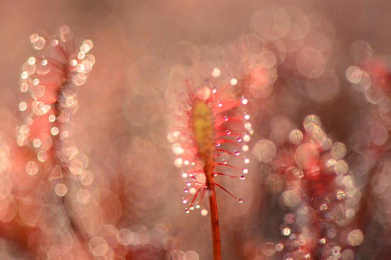 Zonnedauw - Druppels, kleurtjes en een beetje tegenlicht. Klaar is Kees!<br /> Groet, Sjors