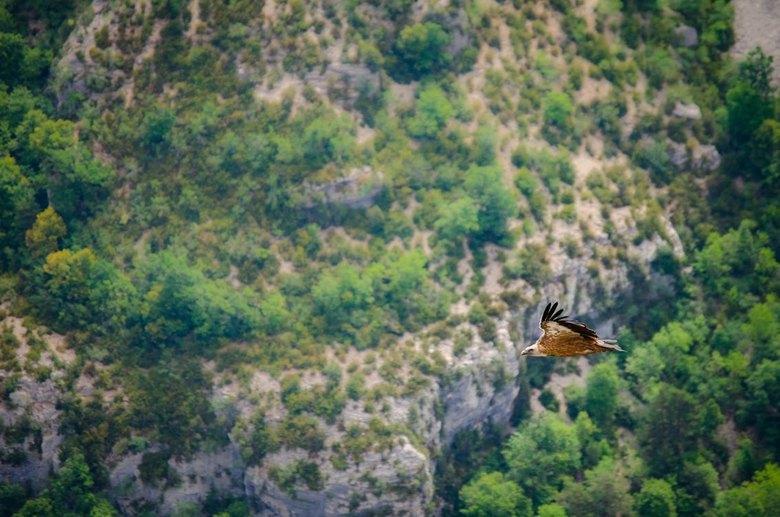Gier bij Gorges du Verdon -