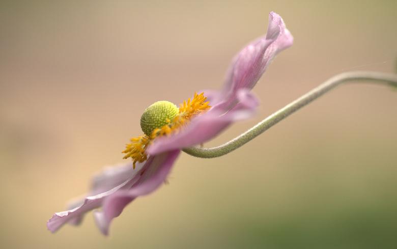 Autumn Anemone - Hele dankbare bloemen om te fotograferen en op zoveel verschillende manieren..op de bloemrand, op het hart, op....<br /> Ik vind ze