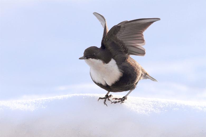 """Sneeuwspreeuw - De eerste sneeuwspreeuwpoging was mislukt, gelukkig krijg je soms een tweede kans <img  src=""""/images/smileys/wilt.png""""/><br /> Meer o"""
