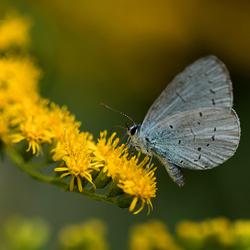 Boomblauwtje in het geel ...