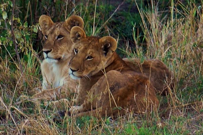 leeuwen masai mara - Deze twee jonge leeuwen lagen te wachten op hun moeder, die in de beek wat aan het drinken was.
