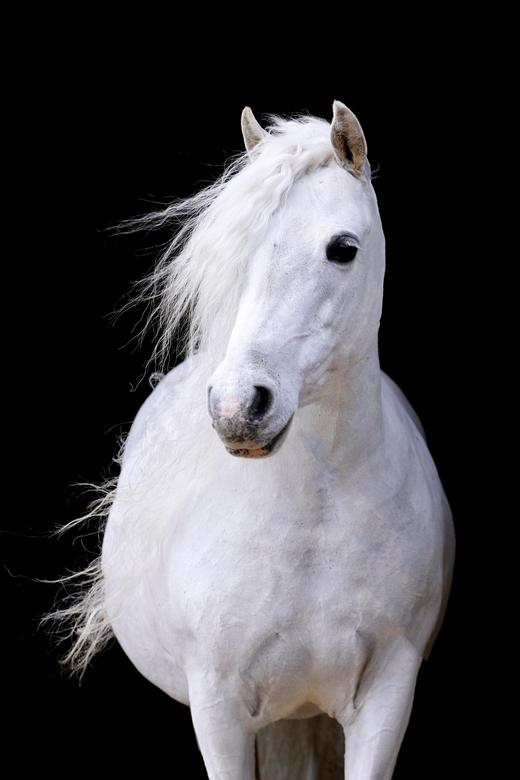 Black foto Schimmel pony - Blackfoto van een schimmel welsh pony.