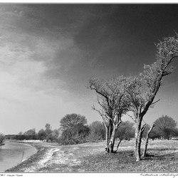 Horse Trees 2