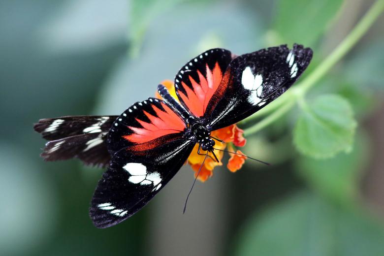 Vlinder - Artis - Vlinder - Vlindertuin Artis