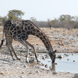 Drinkende giraffe