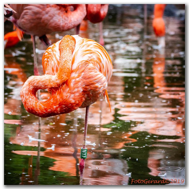 flamingo - Vanaf 6 juni in grote getale in Gaiazoo!!