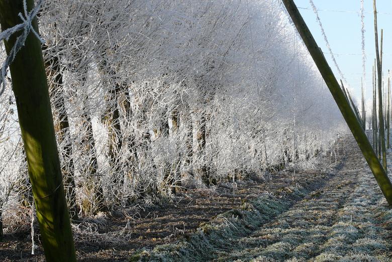 vriesweer en zon op hop - opkomende zon priemt doorheen de beschermende bevroren bomenzoom rondom het kale winterse hoppeveld