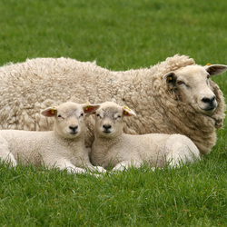 Ma schaap en haar 2 lammetjes in de wei